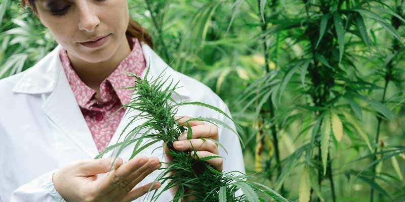 medicinal cannabis licence gmp compliance