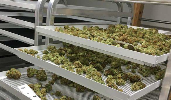 Medicinal Cannabis Trays
