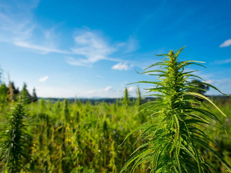 outdoor-cannabis-risks-cannabis-crop-risksJPG