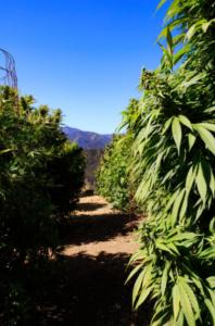 outdoor-versus-indoor-grows-risks-to-cannabis-crops